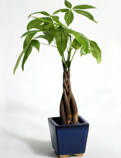 braided money tree - ficus
